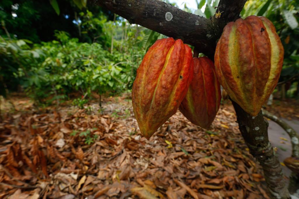 Cacao-árbol