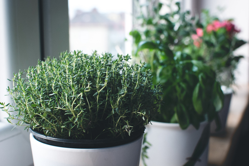 6 aromatic herbs to grow at home