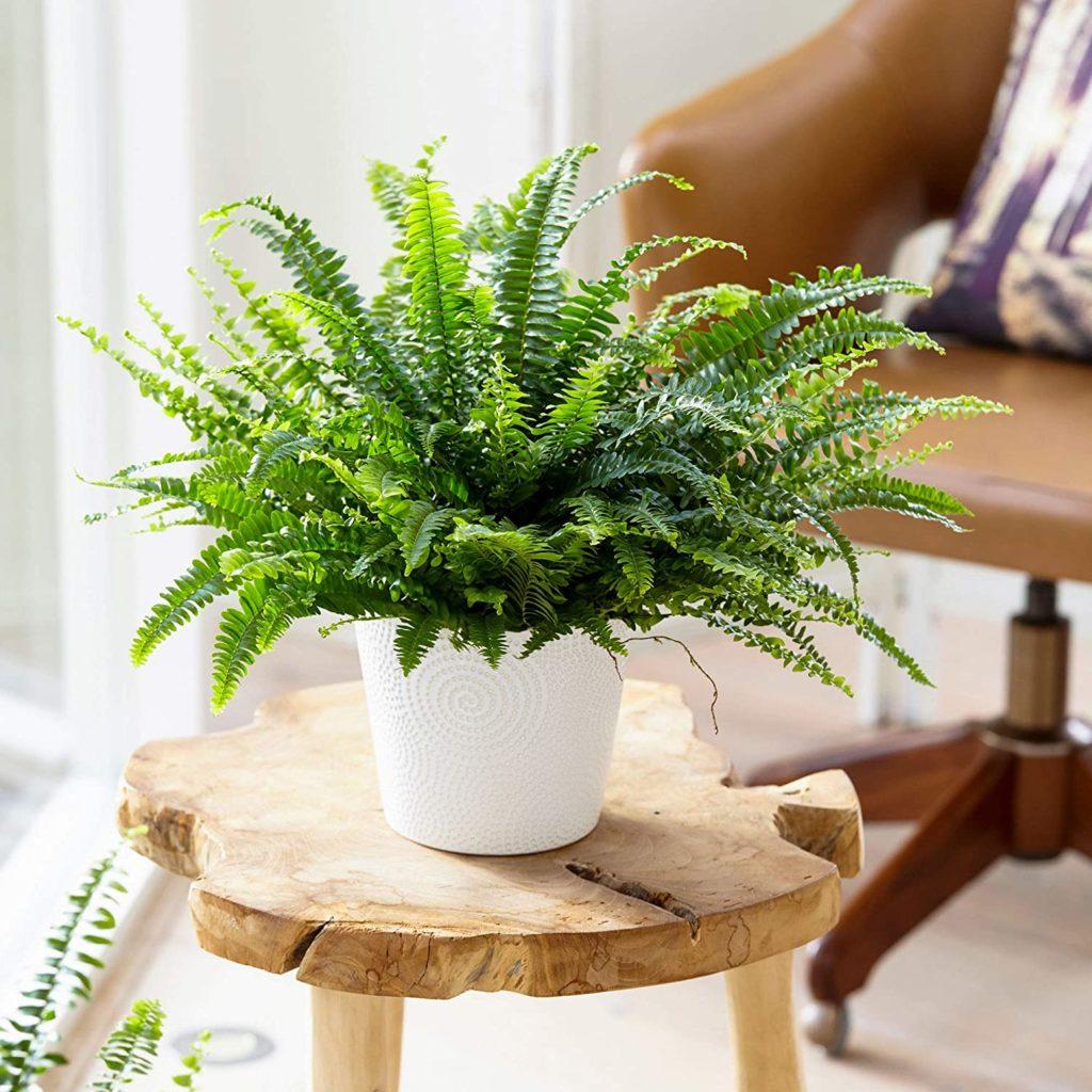 Fern-plant