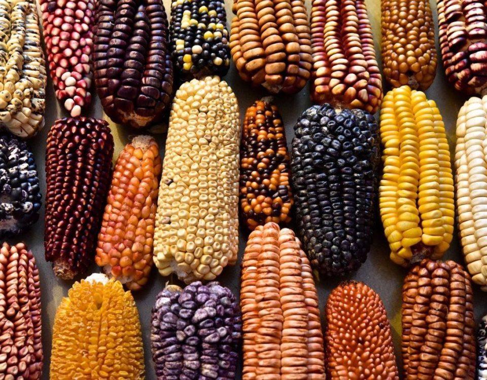 Mexico-corn