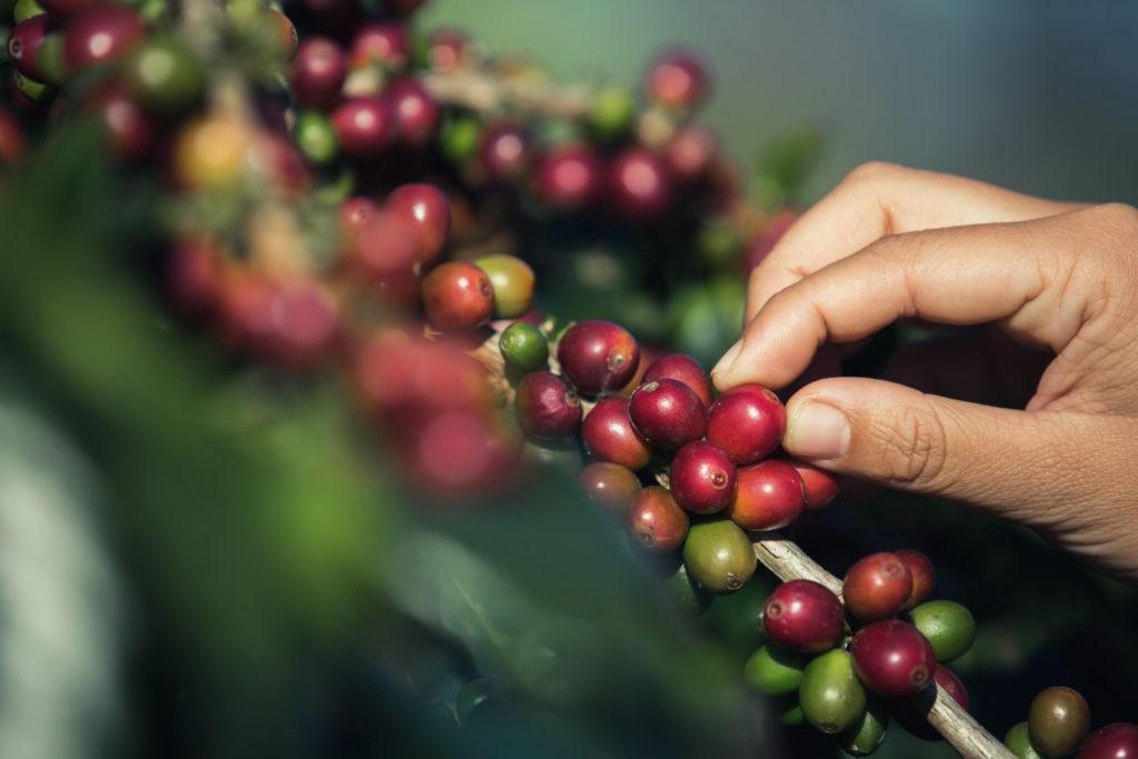 Cerezas-de-café